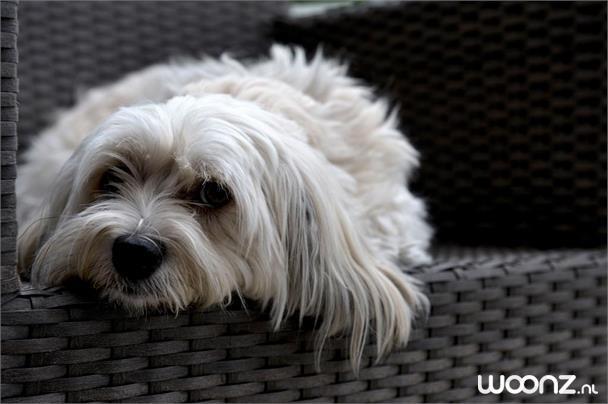 hond Roos